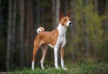 5 пород собак родом из Древнего Египта