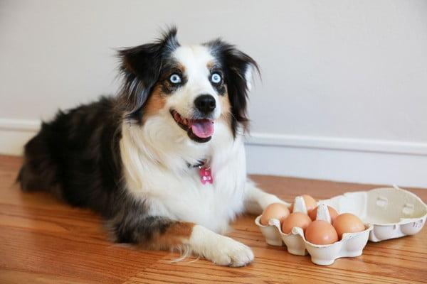 Польза яиц для собак; Можно ли давать собаке яйца?