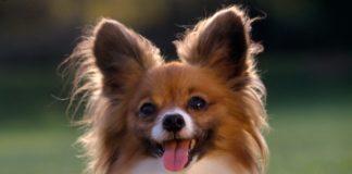 Топ-5 самых маленьких пород собак