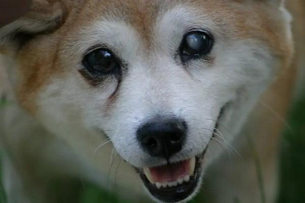 Обучение слепой собаки