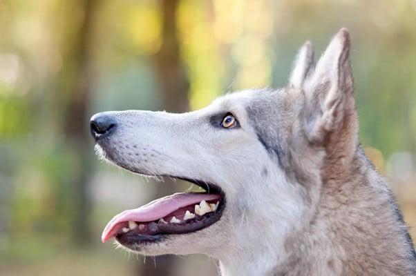 Волкособы: определение