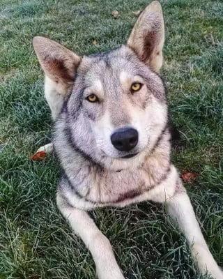 Волчьи собаки много воют