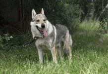 10 фактов о собаках-волках
