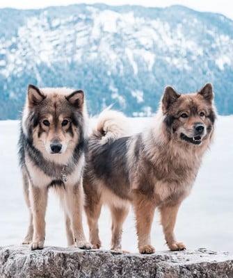 Первые гибриды волков и собак; волкособы