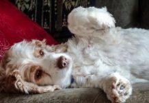 Вздутие живота у собак