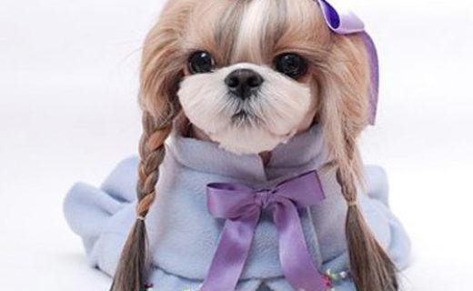 Представители породы ши тцу поражают своим великолепным видом: у собачек-хризантем роскошная длинная шерсть, придающая им особую импозантность